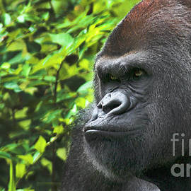 Gary Gingrich Galleries - Rah-Dee-Lowland Gorilla-9774