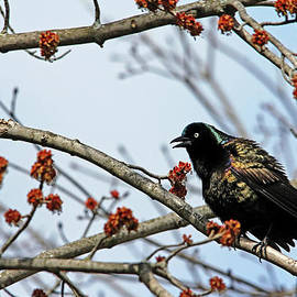 Debbie Oppermann - Grackle Colors