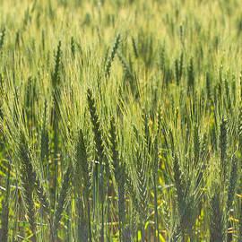 Aaron Spong - Grain Field