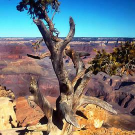 Barbara D Richards - Grand Canyon Tree