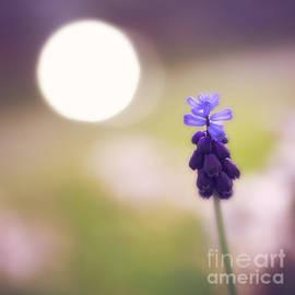 LHJB Photography - Grape Hyacinth