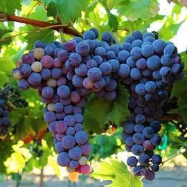 Lynn Hopwood - Grapes in the morning light