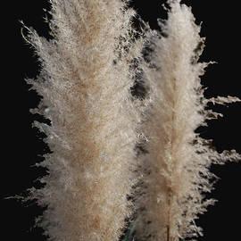 John Dauer - Grass Plume