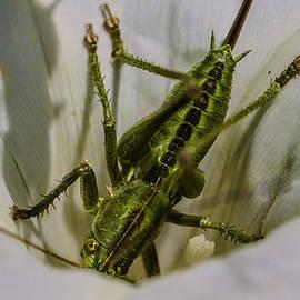 Leif Sohlman - Grasshopper