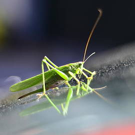 Gynt   - Grasshopper on the car windscreen.