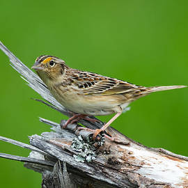 Robert McAlpine - Grasshopper Sparrow