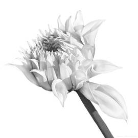 Jennie Marie Schell - Gray Dahlia Flower Blooming Monochrome