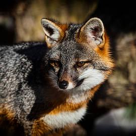 Karol  Livote - Gray Fox