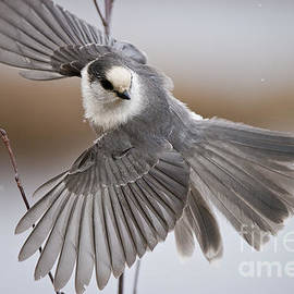 World Wildlife Photography - Gray Jay Pictures 319