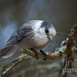 World Wildlife Photography - Gray Jay Pictures 363