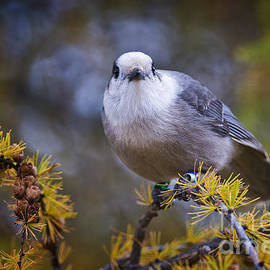 World Wildlife Photography - Gray Jay Pictures 444