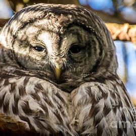 Sabine Edrissi - Gray Owl