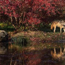 Daniel Behm - Gray Wolf in Autumn