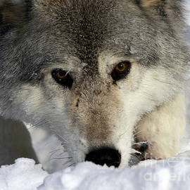 Inspired Nature Photography By Shelley Myke - Gray Wolf Playing in the Snow