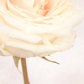 VIAINA Visual Artist - GRAZIE - White Wedding Rose