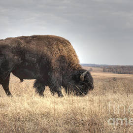 David Cutts - Grazing Bison