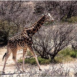 Janice Rae Pariza - Grazing Giraffe