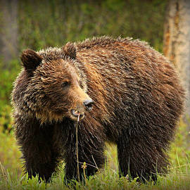 Stephen Stookey - Grazing Grizzly