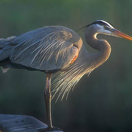 Jack Nevitt - Great Blue at Sunrise