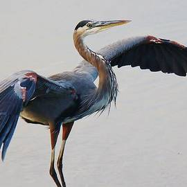 Paulette Thomas - Great Blue Heron - # 21