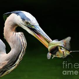 Kathy Baccari - Great Blue Heron And The Catfish