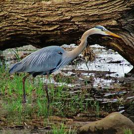 Thomas  McGuire - Great Blue Heron at Rockland Lake