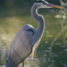 Saija  Lehtonen - Great Blue Heron at Sunset