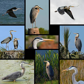 Dawn Currie - Great Blue Heron Collage