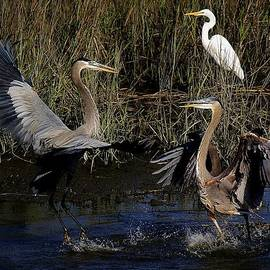 Paulette Thomas - Great Blue Heron Courtship