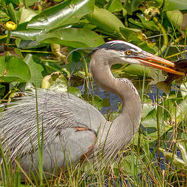 Doug McPherson - Great Blue Heron