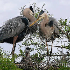 Kathy Baccari - Great Blue Heron Family
