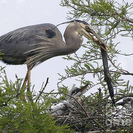Kathy Baccari - Great Blue Heron Feeding It