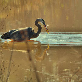 Paul Lyndon Phillips - Great Blue Heron fishing -3268c