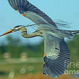 Larry Nieland - Great Blue Heron Flight 2