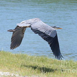 Carol Groenen - Great Blue Heron in Flight