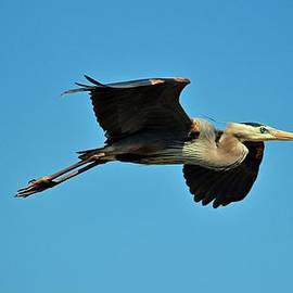 Cynthia Guinn - Great Blue Heron In Flight