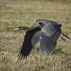Wes and Dotty Weber - Great Blue Heron In Flight D4182