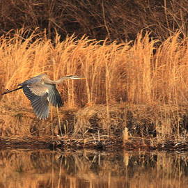Scott Rackers - Great Blue Heron in flight