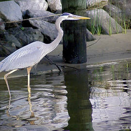 Brian Wallace - Great Blue Heron - Mealtime