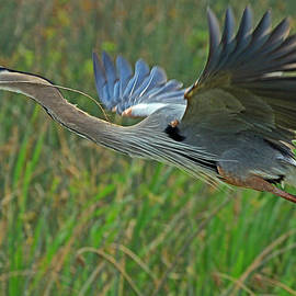 Larry Nieland - Great Blue Heron Nestbuilding