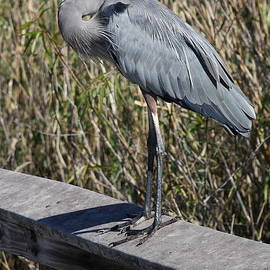 Christiane Schulze Art And Photography - Great Blue Heron On A Rail