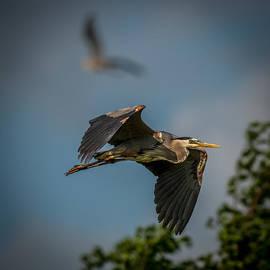 Paul Freidlund - Great Blue Heron