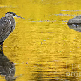 World Wildlife Photography - Great Blue Heron Pictures 714