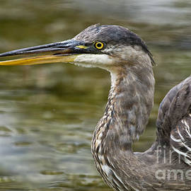World Wildlife Photography - Great Blue Heron Pictures 745