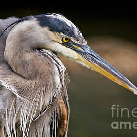 World Wildlife Photography - Great Blue Heron Pictures 968
