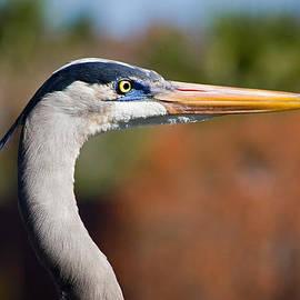Dawn Currie - Great Blue Heron Portrait