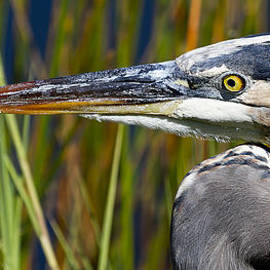 Mr Bennett Kent - Great Blue Heron portrait