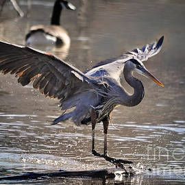 Nava  Thompson - Great Blue Heron Skiing