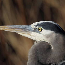 Steve Jamsa - Great Blue Heron