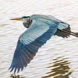 Brian Tada - Great Blue Heron Taking Flight